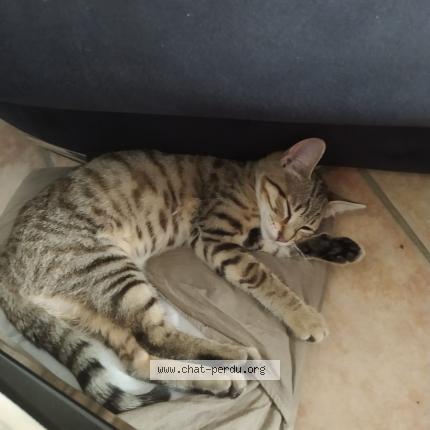 #542888 Myra chat perdu à BRIE COMTE ROBERT